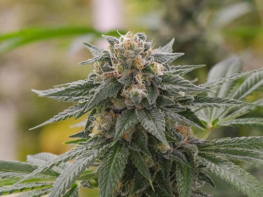 The Bank Cannabis Genetics | Marijuana Seeds